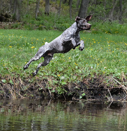 pointer dog: german shorthaired pointer jumping into the river Stock Photo