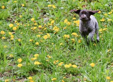 frolic: german shorthaired pointer running in the grass - 8 weeks old