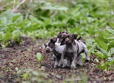 frolic: litter of german shorthaired pointer puppies playing outside in the woods