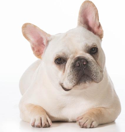 bulldog puppy: french bulldog puppy laying down on white background Stock Photo