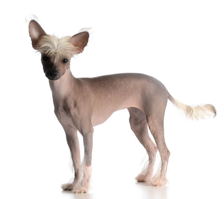 looking at viewer: chinese crested puppy looking at viewer on white background
