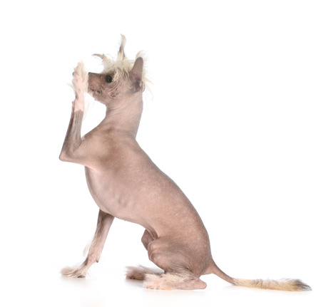shake a paw - chinese crested sitting shaking a paw on white background photo