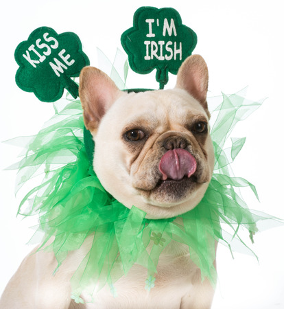 patricks: St Patricks Day dog - french bulldog Stock Photo