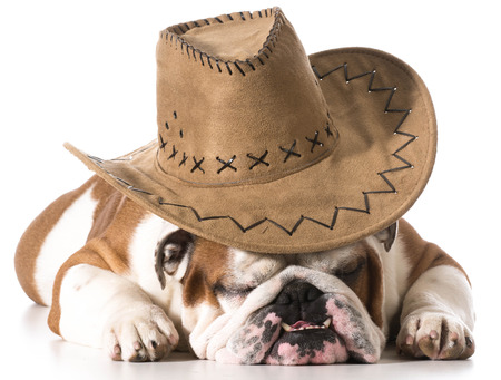 dog wearing cowboy hat on white background - english bulldog photo