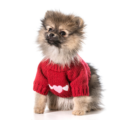 havanais: pomeranian wearing red sweater with hearts