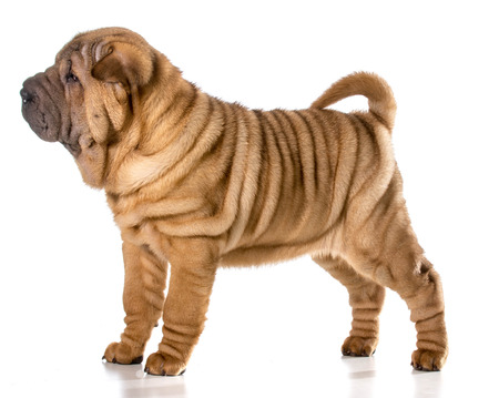chinese shar pei puppy standing isolated on white background - 4 months old photo