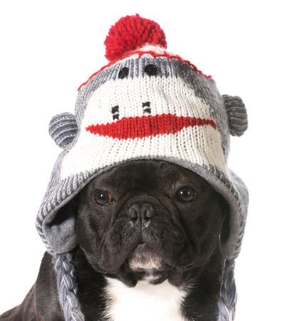 frenchie: french bulldog wearing winter hat Stock Photo