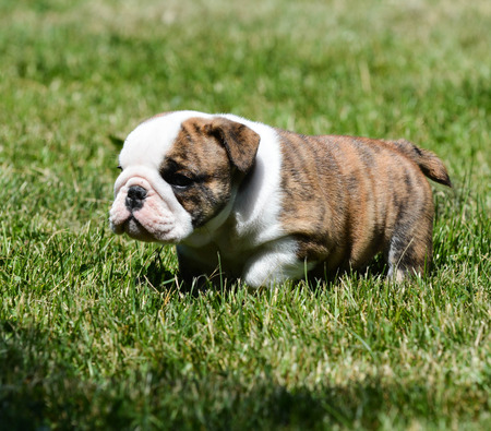 bulldog puppy: cute english bulldog puppy in the grass Stock Photo