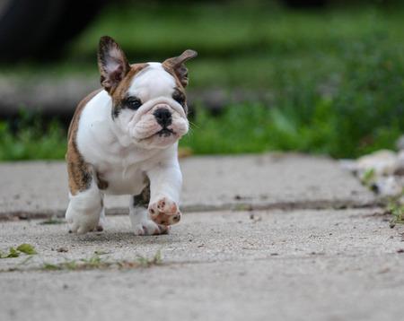 bulldog puppy: english bulldog puppy running on the sidewalk