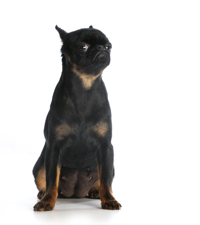 brussels griffon: brussels griffon sitting looking at viewer isolated on white background