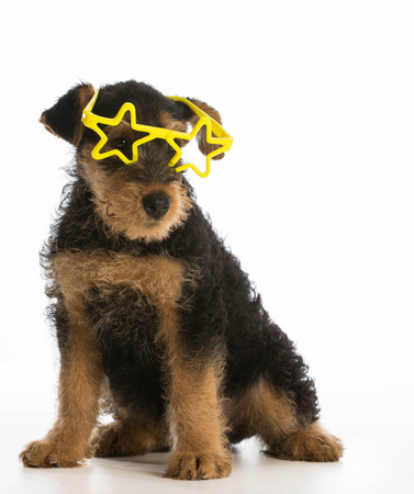 airedale terrier dog: cute airedale terrier puppy wearing star shaped glasses sitting on white background