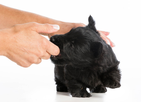 puppy chewing on owners finger on white background photo