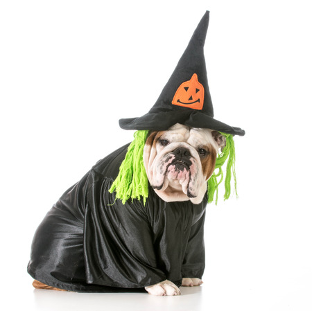 wicked witch: english bulldog wearing witch costume Stock Photo