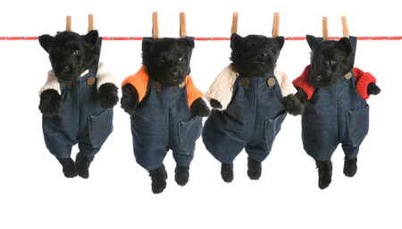 litter of scottish terrier puppies hanging on a clothesline - 6 weeks old