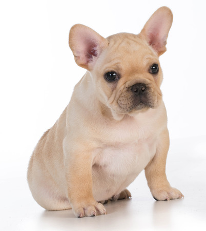 looking at viewer: cute puppy - french bulldog puppy sitting looking at viewer - 7 weeks old