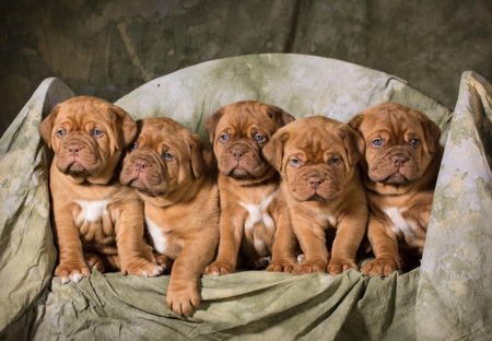 molosse: litter of dogue de bordeaux puppies - 5 weeks old Stock Photo