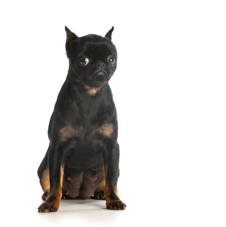 brussels griffon: sad dog - brussels griffon with sad expression on white background