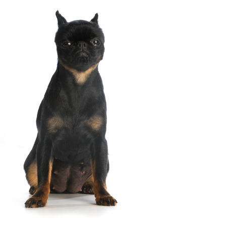 looking at viewer: brussels griffon sitting looking at viewer isolated on white background