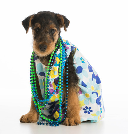 airedale: cute airedale terrier puppy wearing dress and necklace on white background