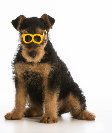 cute airedale terrier puppy wearing glasses sitting on white background photo