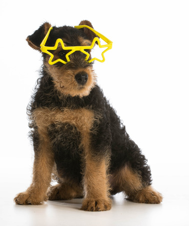cute airedale terrier puppy wearing star shaped glasses sitting on white background photo