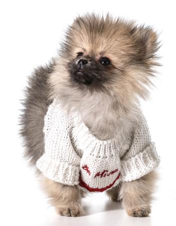 pomeranian wearing valentines day sweater photo