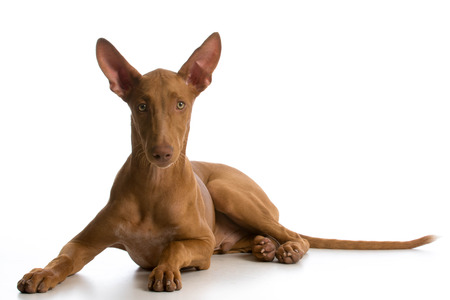 pharoah: pharoah hound puppy laying down looking at viewer on white background
