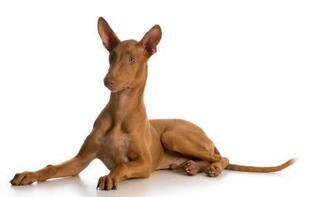 pharoah: pharoah hound puppy laying down on white background Stock Photo