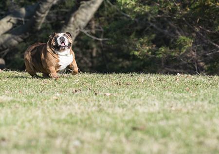 six year old: english bulldog running - six year old female