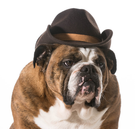 dog wearing western hat isolated on white background - english bulldog photo