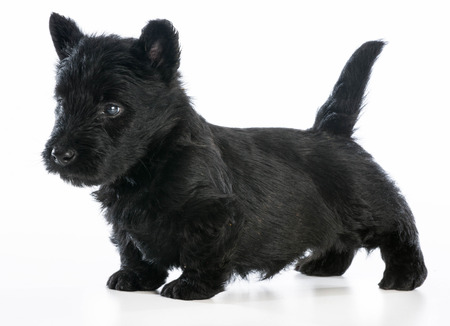 scottish terrier puppy standing on white background - 6 weeks old photo