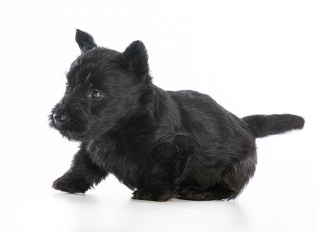 scottish terrier puppy  on white background - 6 weeks old photo