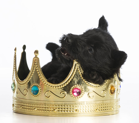 regal: regal puppy - scottish terrier puppy inside a kings crown on white background