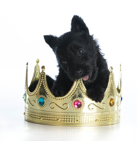 spoiled puppy - scottish terrier puppy sitting inside a kings crown photo