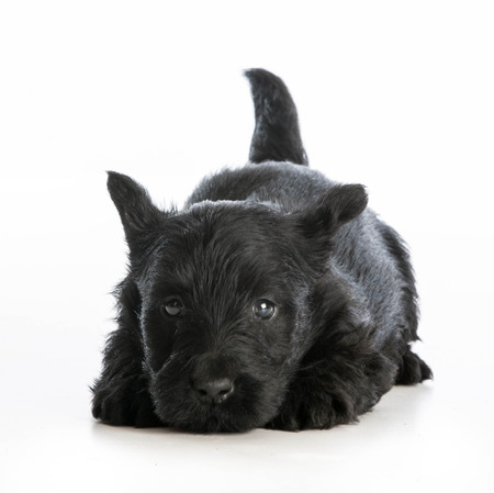 tired puppy - scottish terrier puppy laying down resting on white background photo