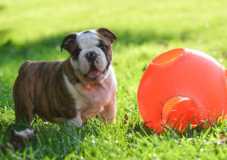 9 ball: puppy playing with a ball outside in the grass - 9 week old english bulldog