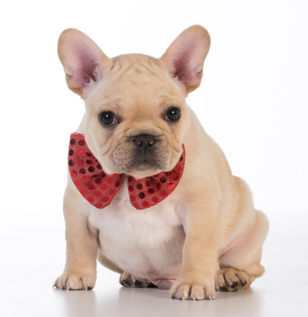 looking at viewer: french bulldog wearing red bowtie looking at viewer on white background