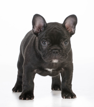 looking at viewer: french bulldog puppy standing looking at viewer on white background