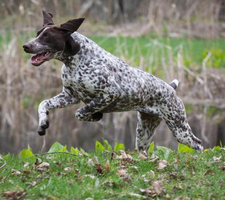 pointer dog: german shorthaired pointer running in a park
