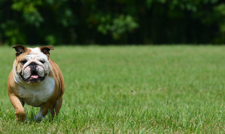 outdoor exercise: english bulldog running outside in the grass Stock Photo