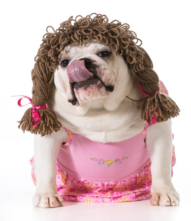 wiggler: female dog - english bulldog wearing pink dress and pigtail wig isolated on white background Stock Photo