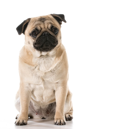 viewer: pug looking at viewer sitting isolated on white background