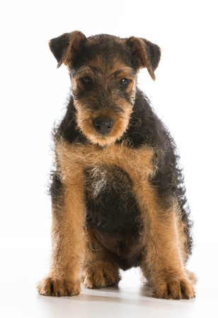 airedale terrier dog: cute puppy - airedale terrier puppy sitting on white background