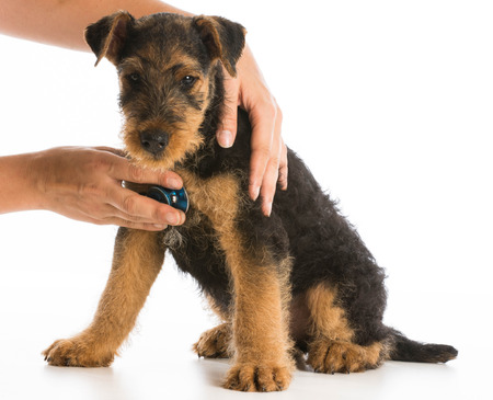 airedale: veterinary care - stethoscope on the heart of a airedale terrier puppy