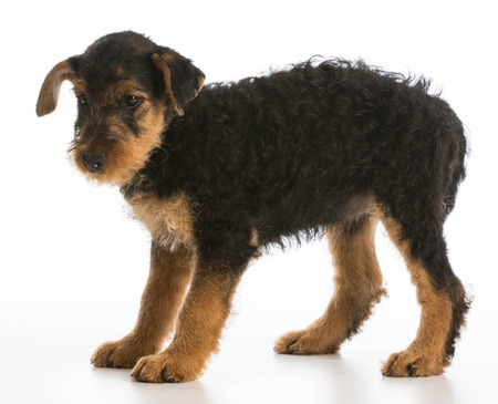 airedale: cute puppy - airedale terrier puppy standing on white background
