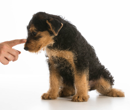 airedale terrier dog: scolding puppy - airedale puppy being trained isolated on white background