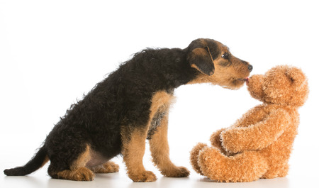 airedale: cute puppy reaching out to kiss stuffed teddy bear - airedale terrier Stock Photo