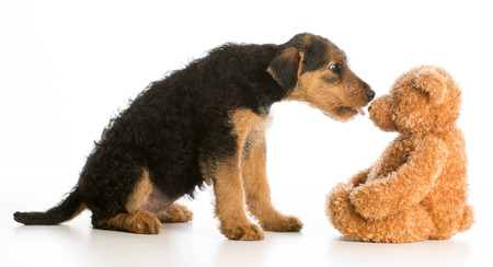 stuffed animals: cute puppy reaching out to kiss stuffed teddy bear - airedale terrier Stock Photo