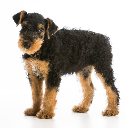 airedale: airedale terrier puppy standing on white background Stock Photo