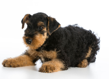 airedale: airedale terrier puppy laying down on white background